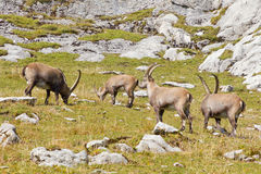 Group of alpine ibex Stock Photography