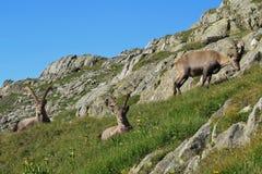 Group of alpine ibex Royalty Free Stock Photos