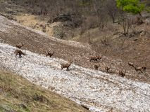 Group of alpine ibex on snowfield in spring season which camouflage itself with the dirty snow of debris. Italy, Orobie Alps royalty free stock photo