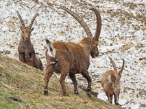 Group of alpine ibex on snowfield in spring season which camouflage itself with the dirty snow of debris. Italy, Orobie Alps. Bergamo Province stock photography