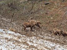 Group of alpine ibex on snowfield in spring season which camouflage itself with the dirty snow of debris. Italy, Orobie Alps royalty free stock images