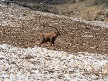 Group of alpine ibex on snowfield in spring season which camouflage itself with the dirty snow of debris. Italy, Orobie Alps stock photo