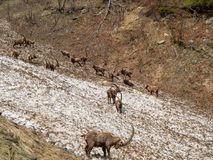 Group of alpine ibex on snowfield in spring season which camouflage itself with the dirty snow of debris. Italy, Orobie Alps royalty free stock photography