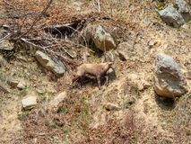 Group of alpine ibex on snowfield in spring season which camouflage itself with the dirty snow of debris. Italy, Orobie Alps royalty free stock photos