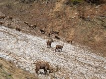 Group of alpine ibex on snowfield in spring season which camouflage itself with the dirty snow of debris. Italy, Orobie Alps. Bergamo Province royalty free stock images