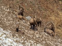 Group of alpine ibex on snowfield in spring season which camouflage itself with the dirty snow of debris. Italy, Orobie Alps. Bergamo Province stock photo