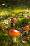 A group of Amanita Muscaria mushrooms. In the autumn forest landscape Stock Photography