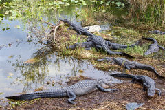 Group of American Alligators Royalty Free Stock Image