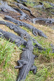 Group of American Alligators Stock Image