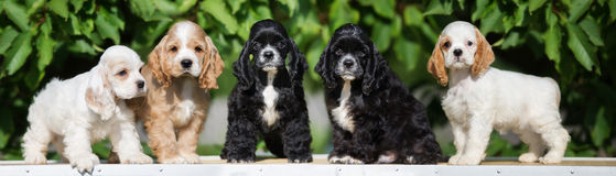 Group of american cocker spaniel puppies. Five american cocker spaniel puppies Stock Image