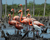 Group American Flamingo and Snowy Egret Royalty Free Stock Photo