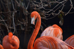 Group of American Flamingoes Stock Images