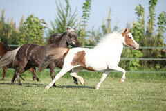 Group of American miniature horses running Stock Images