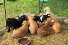 Group of American Pit Bull Terrier dogs. Group of small American Pit Bull Terrier dogs Royalty Free Stock Photos