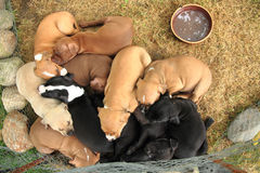 Group of American Pit Bull Terrier dogs Stock Image