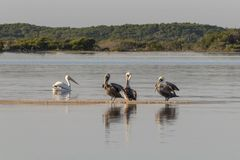 Group of American white pelican swims out royalty free stock images