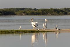 Group of American white pelican swims out royalty free stock photos