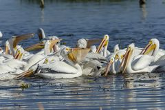 Group of American White Pelicans feeding. Group of American white pelicans Pelecanus erythrorhynchos feeding on fish, Lake Chapala, Jalisco, Mexico Royalty Free Stock Images