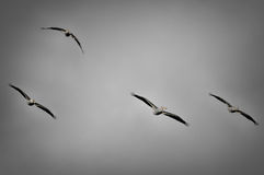 Group of American White Pelicans in Flight Royalty Free Stock Images