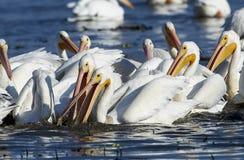 Group of American white pelicans. Pelecanus erythrorhynchos feeding on fish, Lake Chapala, Jalisco, Mexico Stock Photos