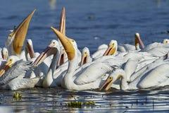 Group of American white pelicans Pelecanus erythrorhynchos feeding on fish. Lake Chapala, Jalisco, Mexico royalty free stock photography