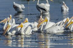 American White Pelicans swimming. Group of American white pelicans Pelecanus erythrorhynchos on Lake Chapala, Jalisco, Mexico Royalty Free Stock Image