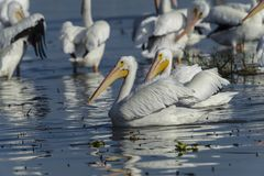 American White Pelicans swimming. Group of American white pelicans Pelecanus erythrorhynchos  on Lake Chapala, Jalisco, Mexico Royalty Free Stock Photo