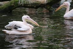 Group of American White Pelicans Preening at the Water. S Edge stock images