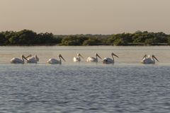 Group of American white pelican swims out stock images