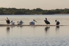 Group of American white pelican swims out royalty free stock photography