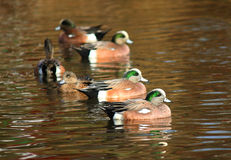 Group of  American Wigeon Swimming Duck Stock Photography