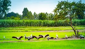 Group of Anastomus oscitans or Openbill stork, local birds living in organic rice field in countryside , looks fresh and relax. stock photography
