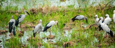 Group of Anastomus oscitans or Openbill stork, local birds living in organic rice field. stock images