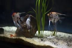 Group of angelfish Stock Photo