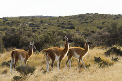 Group of animals in grassland in Patagonia. Group of guanacos grazing in Patagonia Royalty Free Stock Image