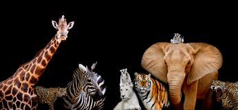 A group of animals are together on a black background with text. Area. Animals range from an Elephant, Zebra, White Lion, Jaguar, Monkey, Giraffe and Tiger. Use Stock Photography