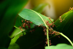 A group of ant collaborate to build up their nest. Concept Royalty Free Stock Photo