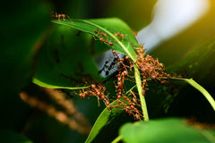 A group of ant collaborate to build up their nest. A group of ant collaborate to build up their nest conceptn Stock Photo