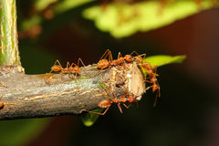 Group ant on tree Royalty Free Stock Images