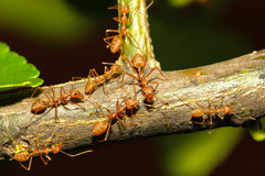 Group ant walking on tree Stock Images