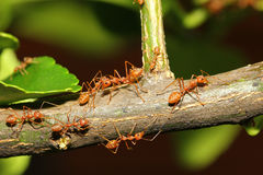Group ant walking on tree Stock Photo