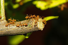 Group ant walking on tree Royalty Free Stock Photo