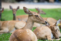 Group of antelope deer sitting on the grass royalty free stock photos