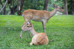Group of antelope deer sitting on the grass stock images