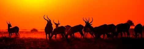 Group of antelope at sunset. Close-up. Botswana. Okavango Delta. An excellent illustration Stock Images