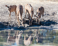 A group of antelopes drinking stock image