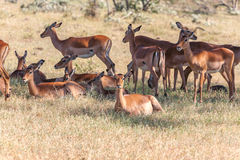 The group of antelopes on the grass Royalty Free Stock Photo