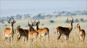 Group of antelopes the impala. Stock Photo