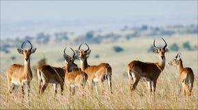 Group of antelopes the impala. Stock Photo
