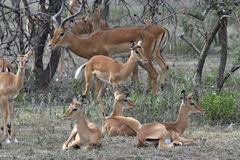 Group of antelopes the impala. Stock Photography